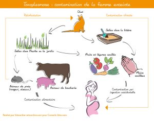 toxoplasmose-aliments-grossesse-contamination